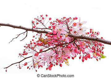 Pink CassiaPink Shower on branch isolate