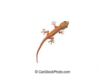 Australian Asian House Gecko Isolated On White (Hemidactylus...
