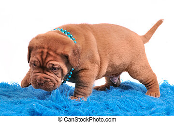 Dogue De Bordeaux pupp is only learning to walk - Newborn...