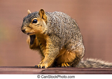 Fox Squirrel Scratching an Itch On Park Bench