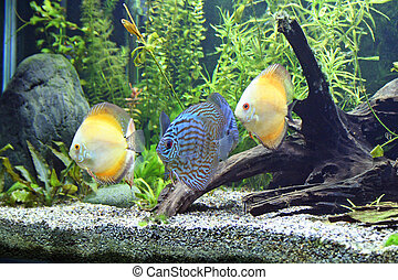 Blue and Orange Discus Aquarium Fish - Blue and Orange...