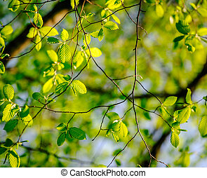 Poplar tree in psring - Fresh leaves of poplar tree in...