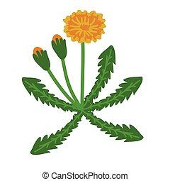 Dandelion plant illustration - Dandelion simple flowering...