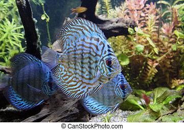 Blue Discus Aquarium Fish - Three Blue Discus Fish -...