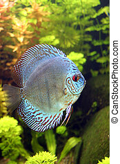 Blue Discus Aquarium Fish - Blue Discus Fish - Symphysodon...