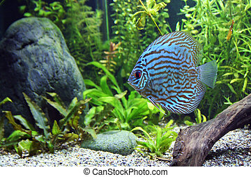 Blue Turquoise Discus Fish - A Blue Turquoise Discus,...