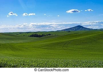 Fields of green wheat in Eastern Washington state - Fields...
