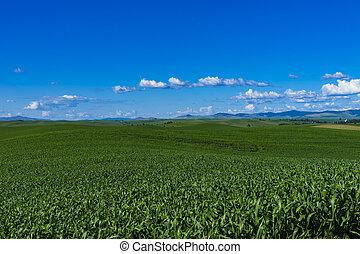 Fields of corn in Eastern Washington state - Fields of corn...