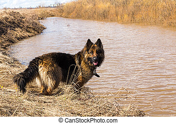 German Shepherd Dog - German shepherd stands on the banks of...