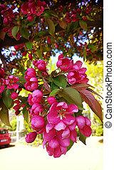Malus purpurea Eleyi apple tree, purple flowers - Beautiful...