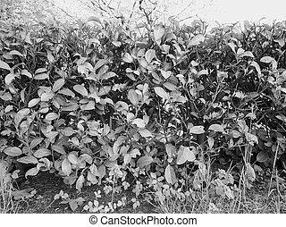 Hedgerow shrubs barrier - Hedge aka hedgerow green shrubs...