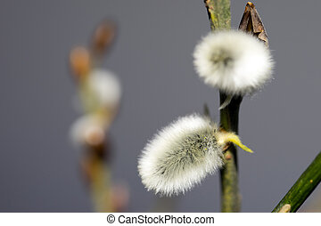 Pussy Willow - close up of a pussy willow