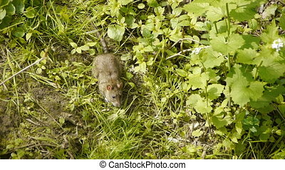 Brown rat eating grass - Adult brown rat in the wild, eats...