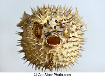 Puffer fish skeleton - Dried and preserved antique puffer...