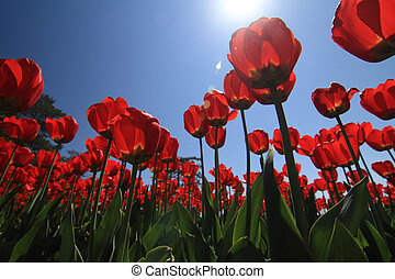 Flower bed - A flower bed of tulips and sky background