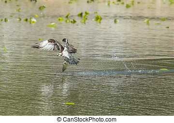 Osprey catches big fish. - An osprey swoops to catch a fish...
