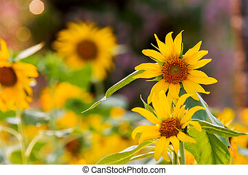 Sunflower. Natural summer background with bright yellow flowers.