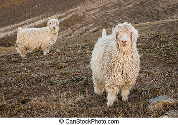 angora goats on grassy slope - curious angora goats on...