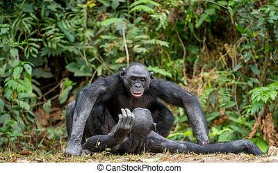 Bonobo, apareamiento