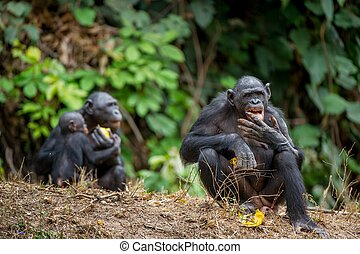 The bonobo Pan paniscus, formerly called the pygmy...
