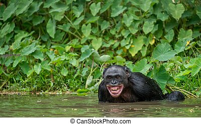 The chimpanzee Bonobo bathes with pleasure and smiles The...