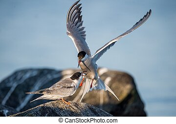 Birds courtship Common Tern. Adult Common Terns (Sterna...