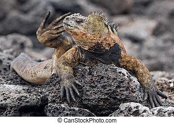The Marine Iguana Amblyrhynchus cristatus on the stony lava...