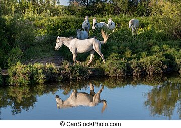 Portrait of the White Camargue Horses reflected in the...