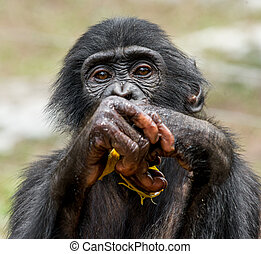 Close up Portrait of a juvenile bonobo. Cub of a Chimpanzee...
