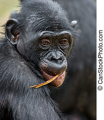 Close up Portrait of a juvenile bonobo Cub of a Chimpanzee...