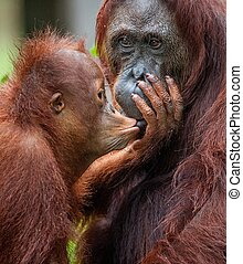 A female of the orangutan with a cub in a native habitat.The...