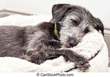 Terrier Dog Sleeping on Dog Bed - Terrier dog asleep on...