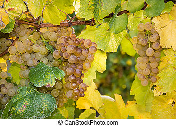 ripe riesling grapes on vine - closeup of ripe riesling...
