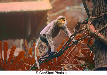 Monkey with orange face, Douc Langur - Multi-coloured monkey...