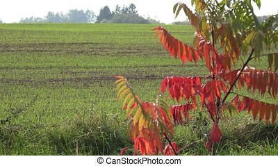 verdant winter crop field and tree at country autumn view....