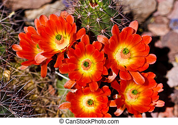 Blossoming flower on a prickly cactus - The desert has a...