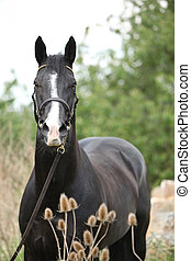 Amazing black welsh part-bred stallion with flowers -...