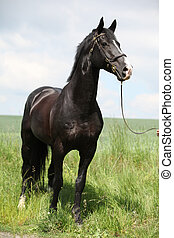Amazing black welsh part-bred stallion - Portrait of amazing...