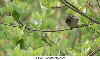 House Sparrow Sitting On A Branch A