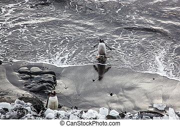 Gentoo penguin coming out of the ocean, Antarctica - Gentoo...