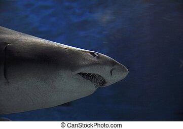 Big teeth Shark - Shark in aquarium