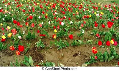 Tulips field in southern Germany