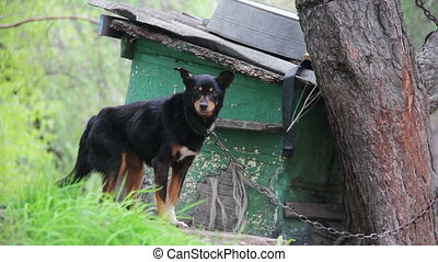 Dog on a Chain near Doghouse - Black Dog on a chain near...