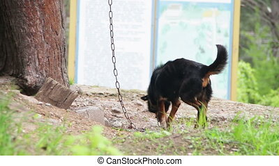 Dog on a Chain near Doghouse