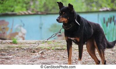 Dog on a Chain near Doghouse