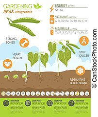 Gardening work, farming infographic. Peas. Graphic template....