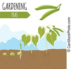 Garden Peas Plant growth Vector illustration