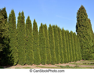 Trimmed Green Fence - green fence from evergreen plants in...