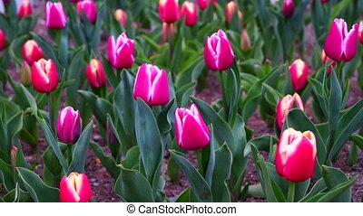 Outdoor video of colorful tulips in the park,