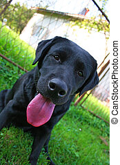 Black Labrador Retriever - Black labador, house in the...